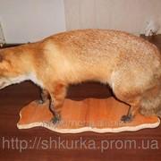 Чучело лисы в полный рост фото