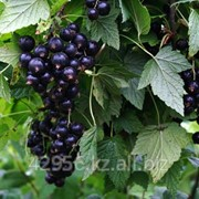 Саженцы смородины Русалка (бирка №5) фото