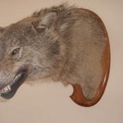 Чучело головы волка по грудь фото