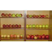Яблоки осенние на экспорт фото