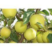 Яблоки голден Молдова фото