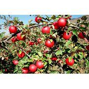 Яблоки летние на экспорт фото