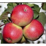 Летние яблоки фото
