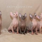 Котята канадского сфинкса, шоу класс!!! фото