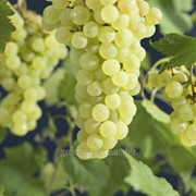 Виноград Sukribe фото
