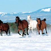 Прокат лошадей фото