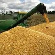 Заготовка, сушка, хранение, калибровка кукурузы фото