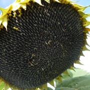 Семена подсолнечника Посейдон 625 РС-1 фото