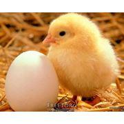 Цыплята фото