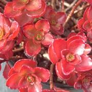 """Очиток ложный(Sedum spurium) """"Fuldaglut"""" фото"""