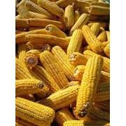 Сушка и хранение кукурудзы фото