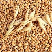 Услуги по скупке пшеницы и ячменя от 30 тонн фото