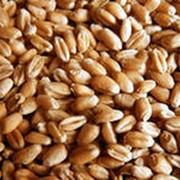 Семена озимой пшеницы. Льговская 4 фото