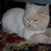 Стрижка котов фото