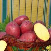 Картофель семенной Лаура 2 репродукция фото