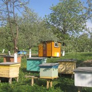 Пчелопакеты карпатской породы доставка по Украине фото