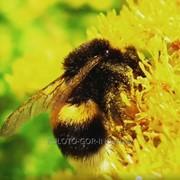Мёд сбор с молочая цветочный фото
