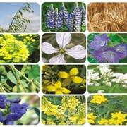 Зеленые удобрения (сидераты) семена фото