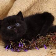 Британские котята цвета воронова крыла фото