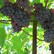 Виноград кишмишных сортов. Виноград Киш-Миш. фото