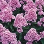 Цветы Флокс фото