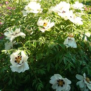 Пион древовидный белый Paeonia suffruticosa white фото