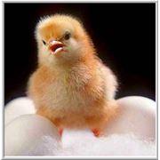 Корм для цыплят фото