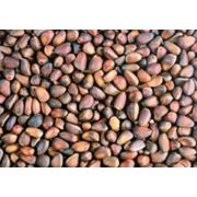 Кедровые орехи в скорлупе фото