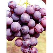 Столовый виноград Кардинал на экспорт из Молдавии фото