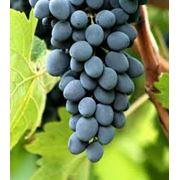 Виноград на экспорт из Молдовы фото