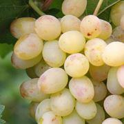 : Виноград фото