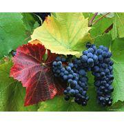 Виноград столовых сортов в Молдове фото