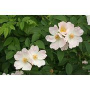 Rosa canina Роза собачья (шиповник обыкновенный) фото