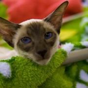 Кошки, питомник выращивает котят, кошек фото