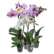 Декоративные горшечные растения фото