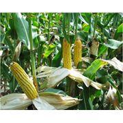 PRODUCTIE AGRICOLA LA EXPORT /Кукуруза фото