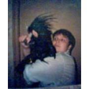 Попугаи Черный какаду фото