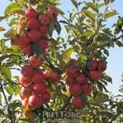 Выращивание овощей, фруктов, ягод. Реализуем зимние сорта яблок Симиренка, Айдарет,Джонаголд, Флорина фото