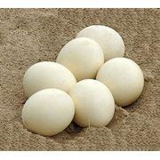 Яйца утиные в Молдове фото