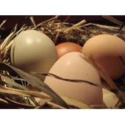 Яйца куриные от TACERO SRL фото