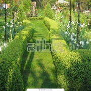 Растения для живой изгороди от производителя многолетних цветов для сада, декоративных трав и пряных растений. фото