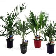 Пальма микс -- palms mixed фото