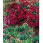 Саженцы миниатюрных роз фото