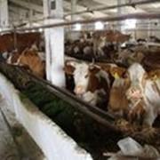 Коровы племенные Голштинская молочная и Волынская мясная породы фото