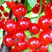 Красная смородина Стефания бирка №3 фото