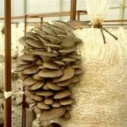 Субстратные блоки гриба вешенка фото