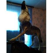 Чучело воющего волка фото