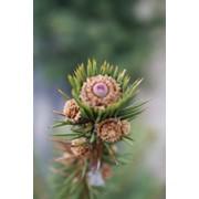 Декоративная обрезка деревьев. фото