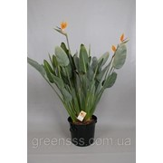 Стрелитция королевская -- Strelitzia reginae фото