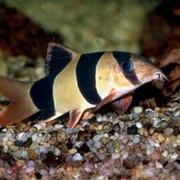 Рыбка Боция клоун фото